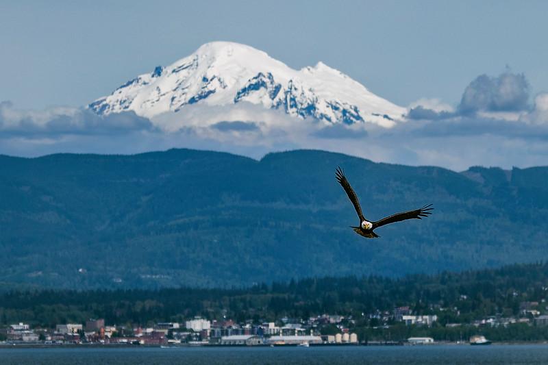 Eagle Soaring Over Bellingham Bay 2