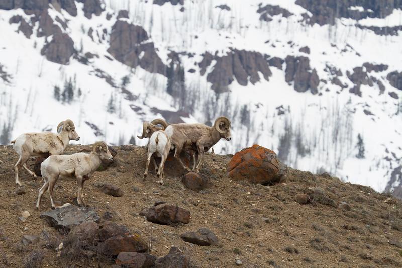 Bighorn rams bachelor herd near Soda Butte Yellowstone National Park WY IMG_6755.jpg
