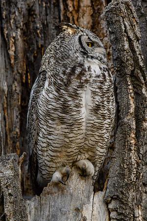 5-7-18 *^Great Horned Owl - Vocalizing