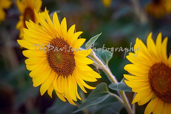 Dupage County Fairgrounds Sunflower Field 7/28 2020