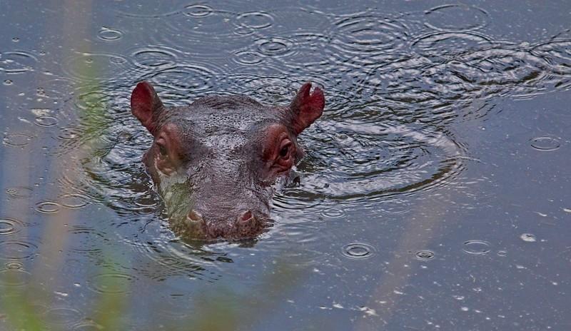 Hippo, Naboisho Conservancy