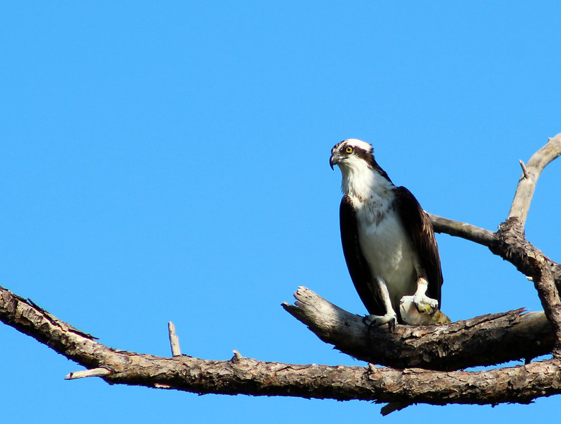 11_6_18 Osprey at Honeymoon Island State Park.jpg