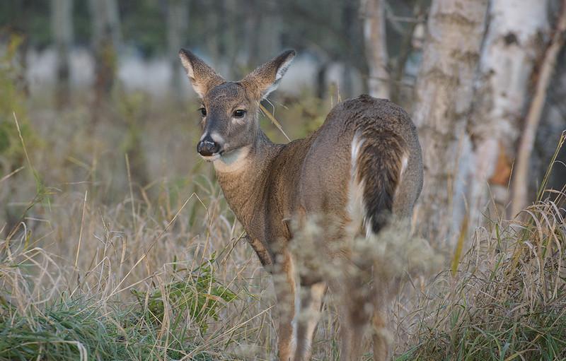 Mission sunrise Nov 4 2016 Deer 2.jpg