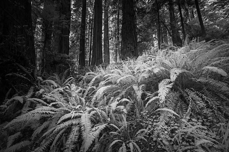 InfraRed Redwoods