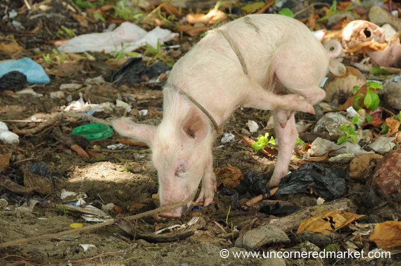 Pig in Trash - Livingston, Guatemala