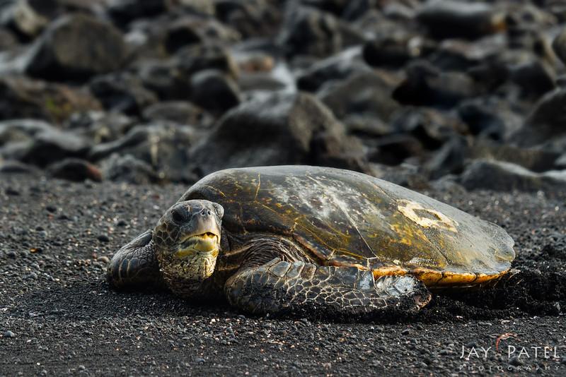 Punaluu, Big Island, Hawaii (HI), USA