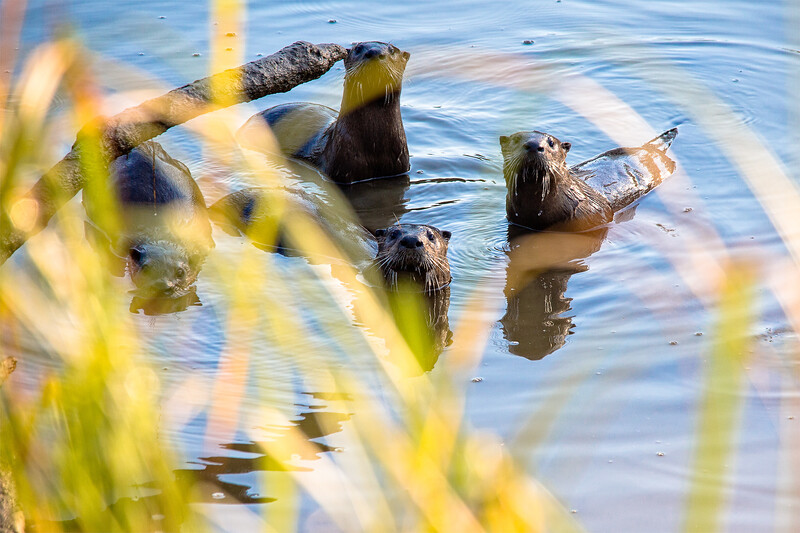 Four river otters check me out at Spencer Island Park, Everett.