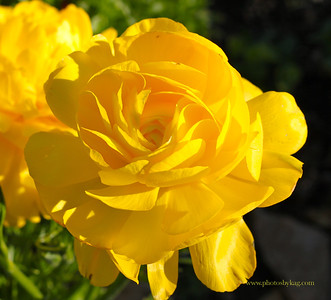 Yellow Rose from the South Coast Botanic Garden in P.V.
