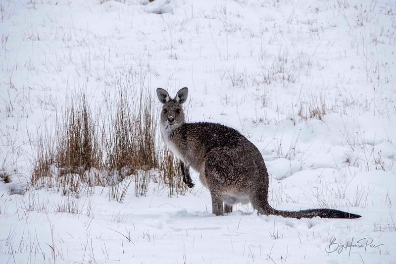 Roo in snow Aug 8- 2_1.jpg