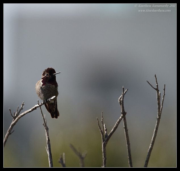 Anna's Hummingbird, Tijuana River Estuary, San Diego County, California, March 2011
