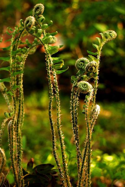 Growing Ferns