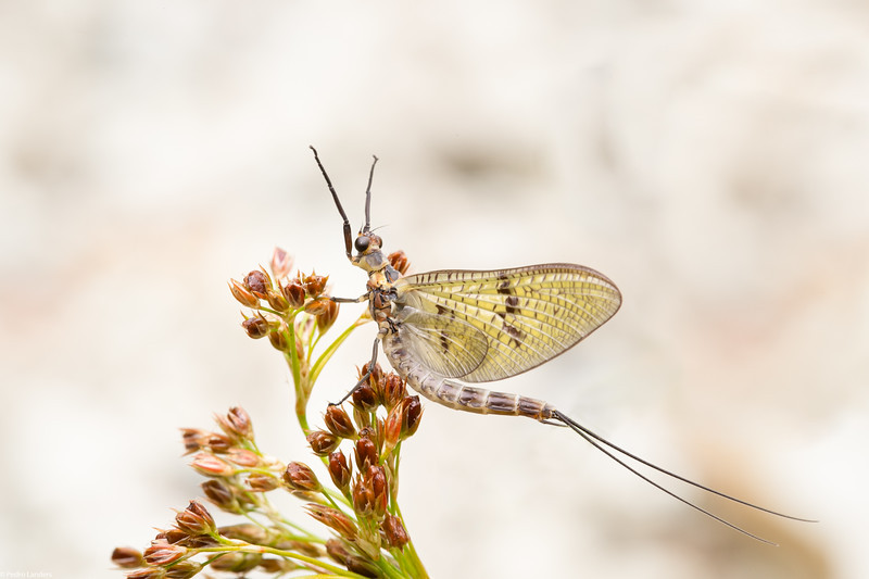 Another Mayfly