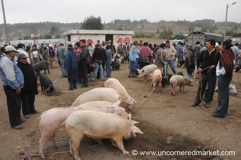 Stay Clear of the Pigs - Saquisili, Ecuador