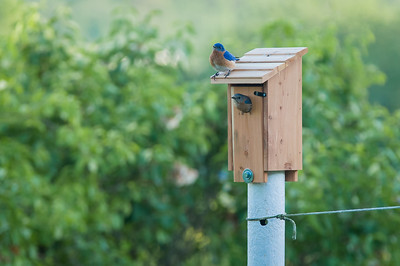 Blue Birds - May_14_2017