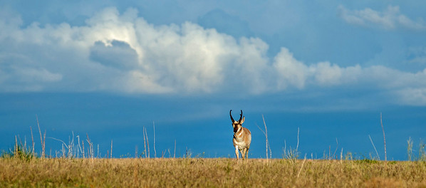 Pronghorns  Antelope