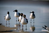 Photograph of a group of seagulls standing on the beach. Photography fine art photo prints print photos photograph photographs image images artwork.