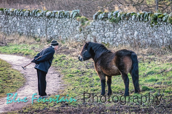 North Berwick Law Ponies
