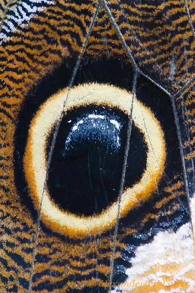 """The Caligo owl butterfly's """"eye""""."""