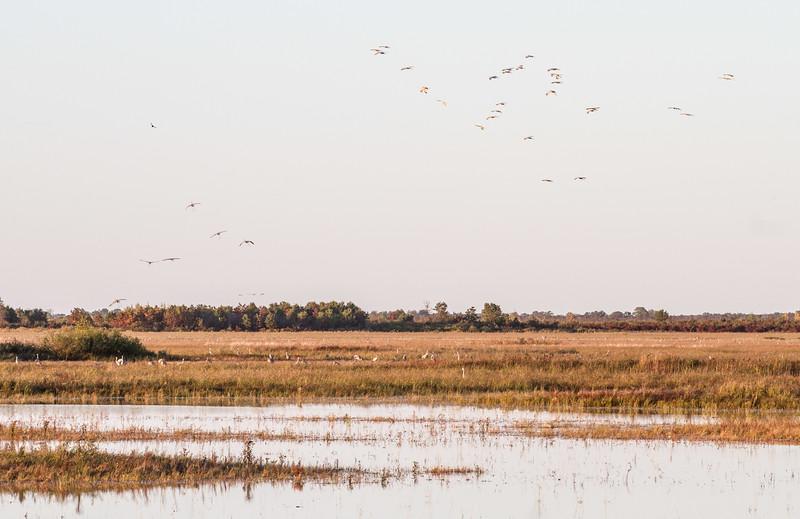 Sandhill Crane flock fly-in Crex Meadows Grantsburg WI IMG_0010.jpg