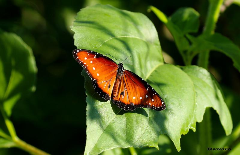 Monarch 6-6-15 202.jpg
