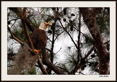 Eagles of Alligator(March 30)