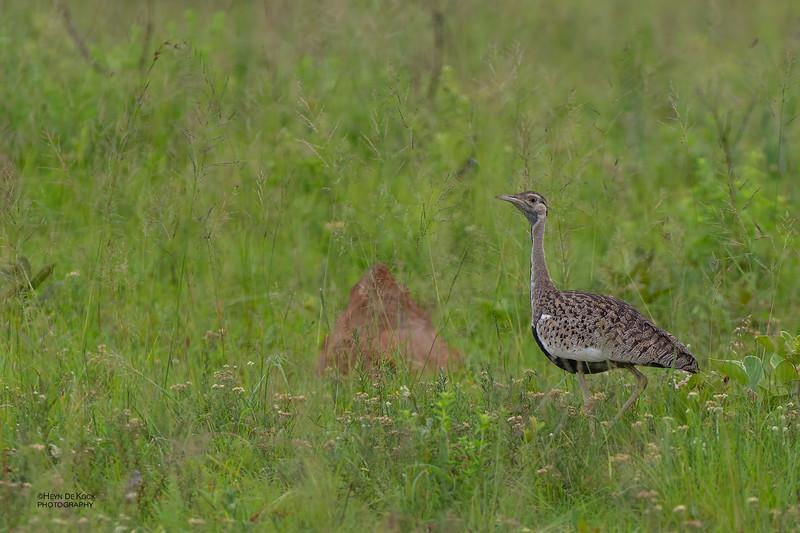 Black-bellied Bustard, Ithala NP, KZN, SA Jan 2014-1.jpg