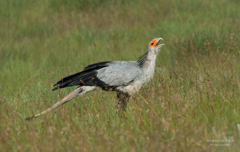 Secretary Bird, Golden Gate NP, FS, SA, Jan 2014-1.jpg