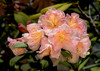 Rhododendron, Blackheath, Blue Mountains, Australia 2014<br /> <br /> <br /> ©Gerald Diamond<br /> All rights reserved