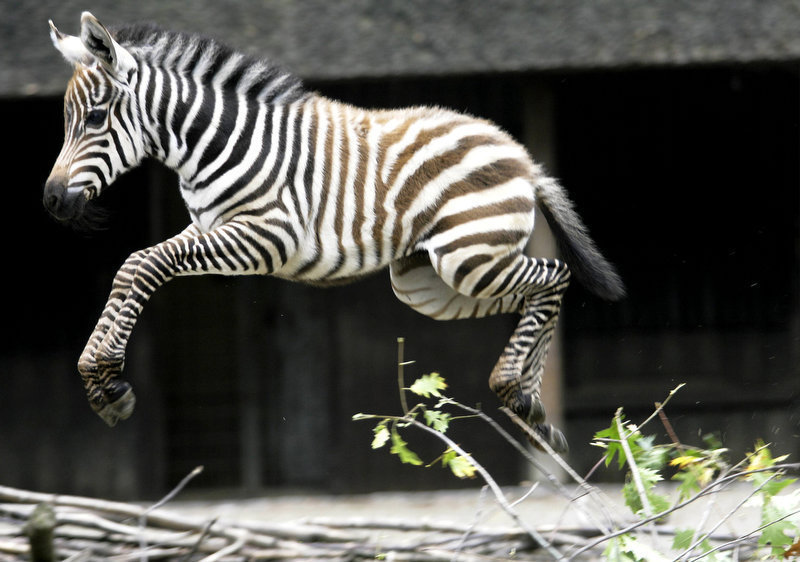 Description of . A baby zebra jumps in her enclosure at the zoo at the western German town of Wuppertal. A(SASCHA SCHUERMANN/AFP/Getty Images)