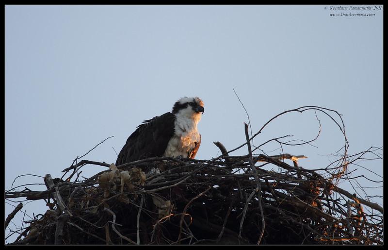 Osprey sitting on the nest, Robb Field, San Diego RIver, San Diego County, California, April 2011