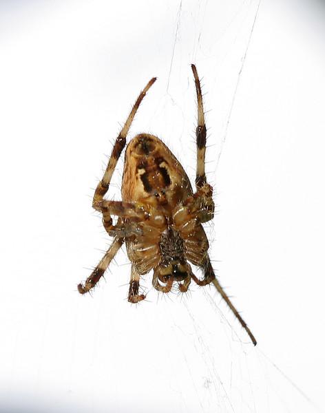 1669 Spider.jpg