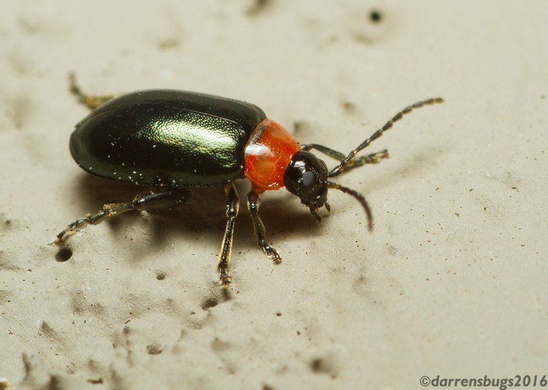 Leaf beetle - Chrysomelidae: Galerucinae: tribe Alticini, possibly genus Disonycha (Iowa, USA). Members of this tribe are sometimes referred to as flea beetles thanks to their jumping prowess.