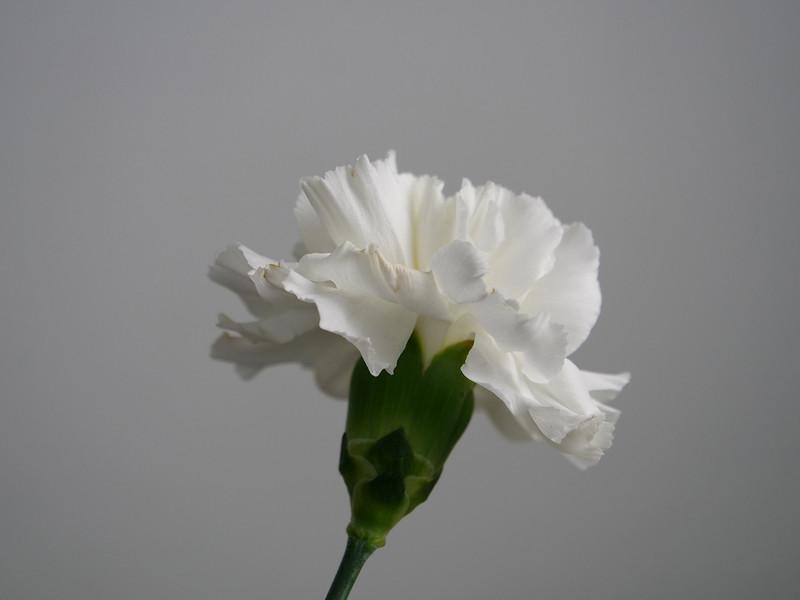 Carnation44 0.jpg