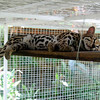 A beautiful Margay cat taking a snooze