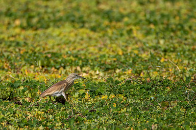 Topphegre (Squacco heron)