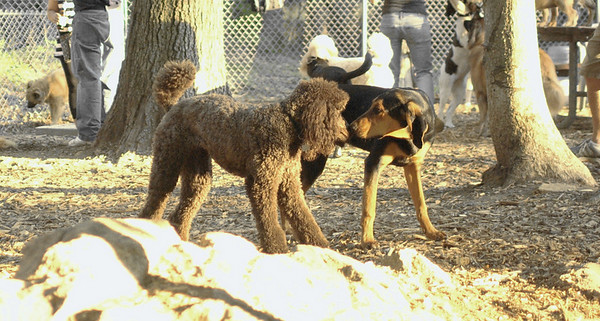PICS JUNE 13::Sammy (coonhound, Lucy (poodle)