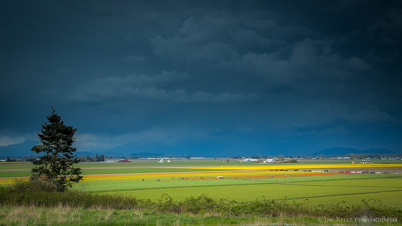 Storm clouds over tulip fields - Skagit Valley, Washington