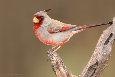 Cardinals, Grosbeaks & Bunting