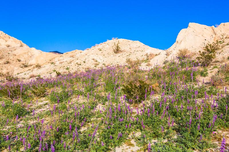 Early Micro Bloom in the Anza-Borrego Desert - February 9, 2019.
