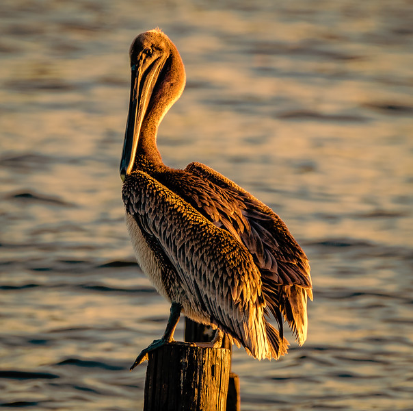Pelican tall sunset 102916.jpg