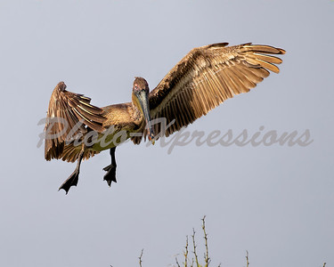 Pelicans at Deer Island Galveston Bay