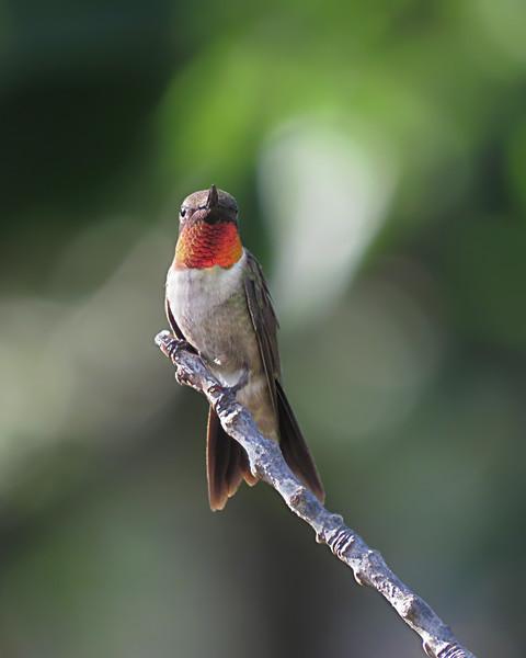 sx50_hummingbird_boas_179.jpg