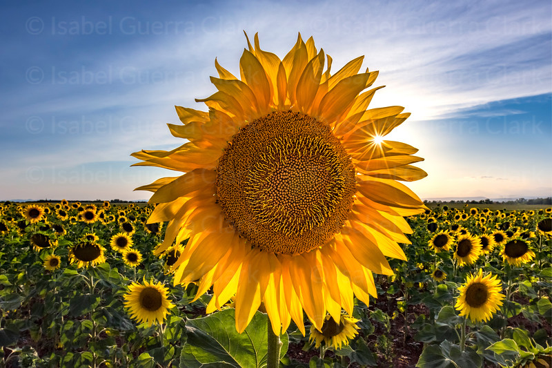 Sunflower and Star, Provence