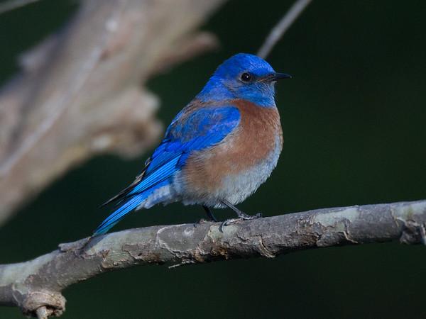 Western Bluebird Sialia mexicana