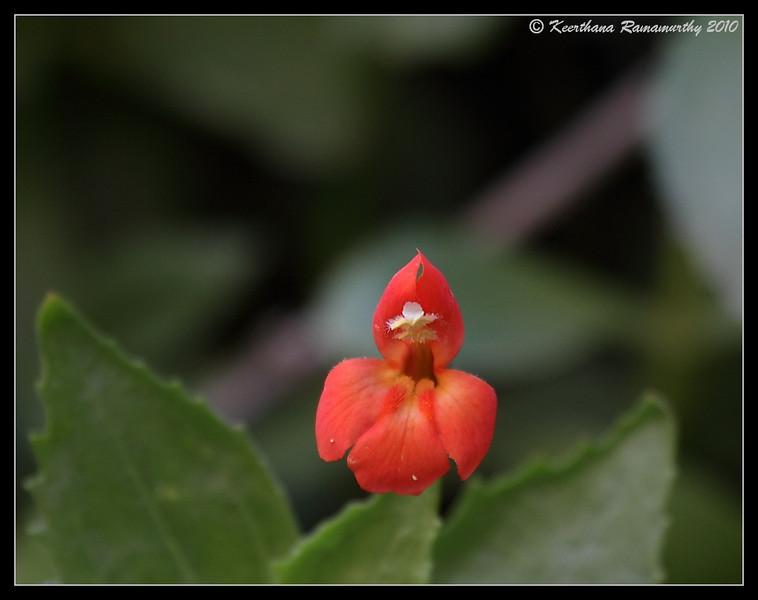 Scarlet Monkey Flower, Zion National Park, Utah, May 2010