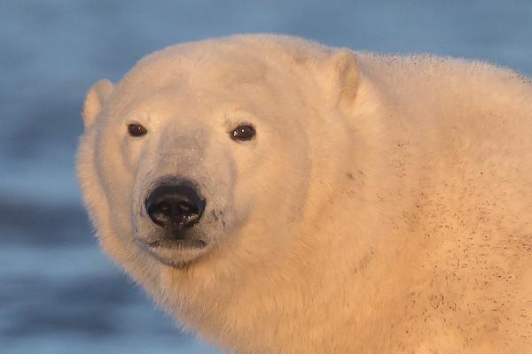 Polar Bears of High Arctic Alaska