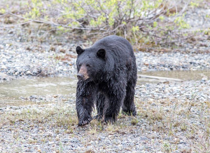 Black Bear Icefields Parkway June 2019.jpg