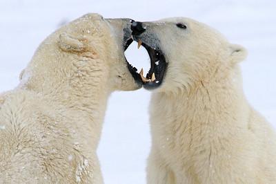 Churchill - Polar Bears & Beluga Whales