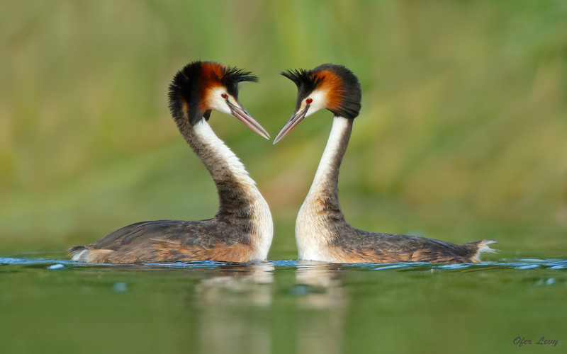 Great-crested Grebe 13.jpg