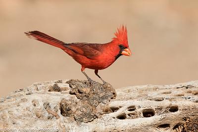 Cardinals, Grosbeaks, Tanagers, Buntings